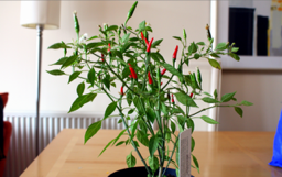 chillies7-638x400-small-40