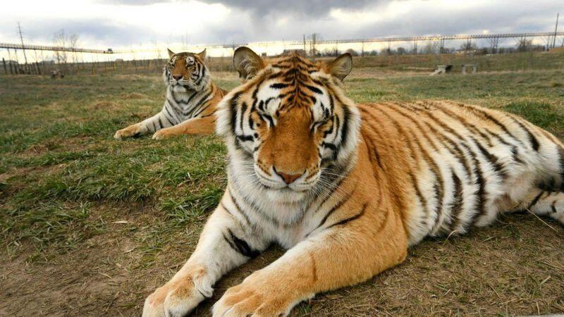 أعضاء في مجلس الشيوخ الأمريكي يسعون لحظر اقتناء الأسود والنمور