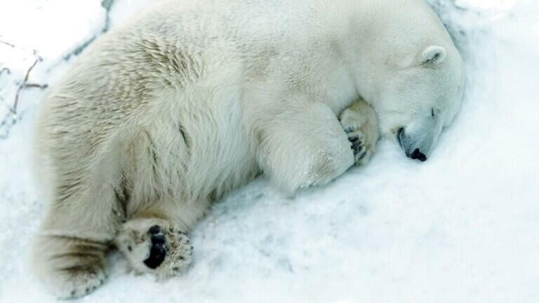 نفوق دب أبيض في حديقة حيوان روسية جراء ابتلاعه دمية أطفال